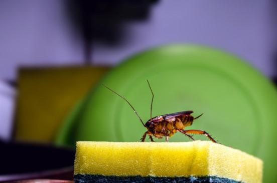 common kitchen pests
